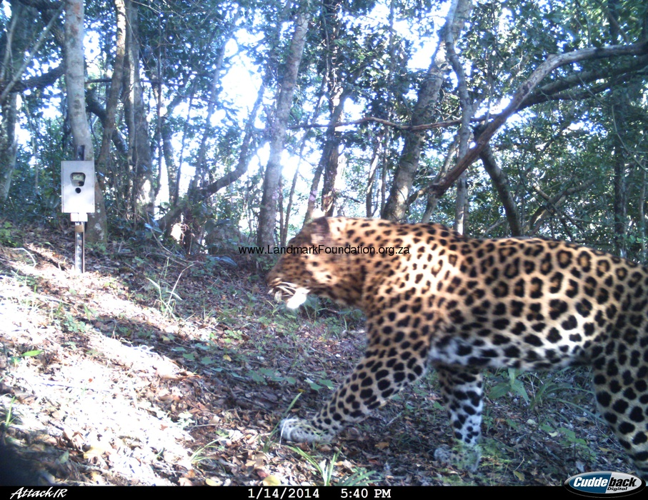 Leopard Brackenburn.