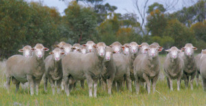 dohne_association_sheep_01